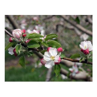 01 Apple Blossoms Winchester VA Postcard