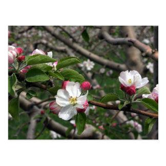 02 Apple Blossoms Winchester VA Postcard