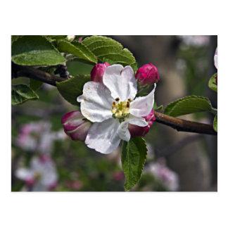 03 Apple Blossoms Winchester VA Postcard