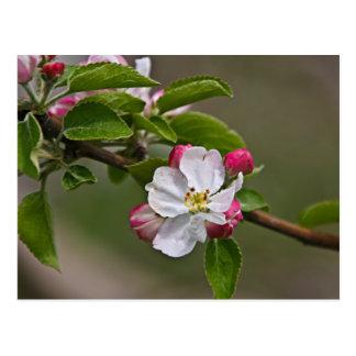 04 Apple Blossoms Winchester VA Postcard