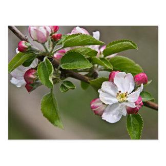 05 Apple Blossoms Winchester VA Postcard
