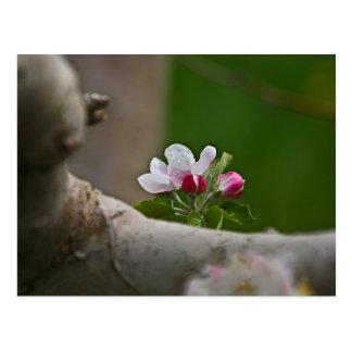 06 Apple Blossoms Winchester VA Postcard