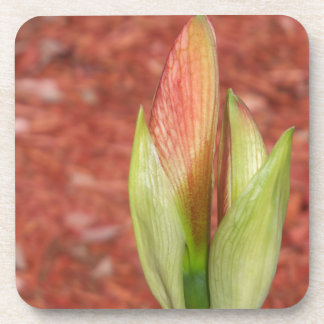 102a Amaryllis Apple blossom bud Coaster