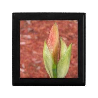 102a Amaryllis Apple blossom bud Gift Box