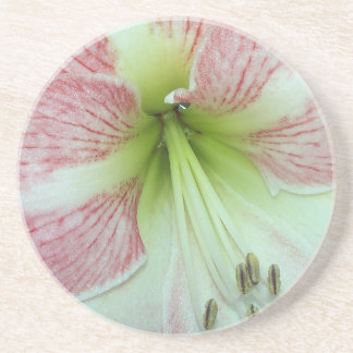 104a Amaryllis Apple Blossom open 2 Coaster