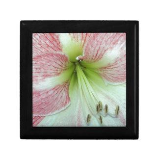 104a Amaryllis Apple Blossom open 2 Gift Box