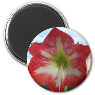 106a Amaryllis red and white MegaStar2 Magnet