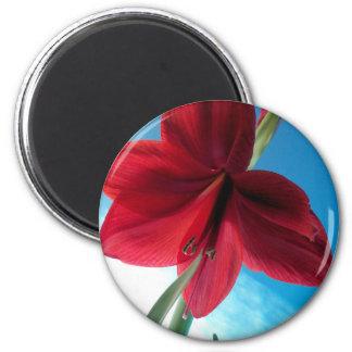 108a Vivid red Amaryllis Flower Magnet