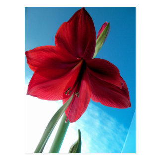108a Vivid red Amaryllis Flower Postcard