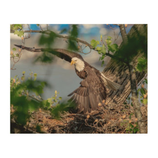 10x8 Bald Eagle leaving the nest Wood Wall Art