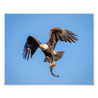 10x8 Bald Eagle with a fish Photo Print