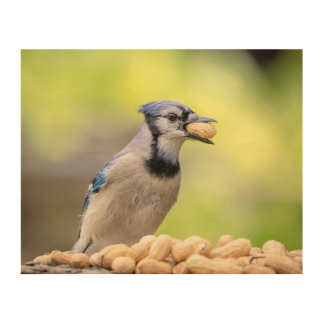 10x8 Blue jay with a peanut Wood Wall Art