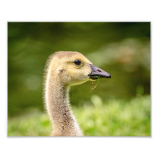 10x8 Canadian Goose (Gosling) Photo Print