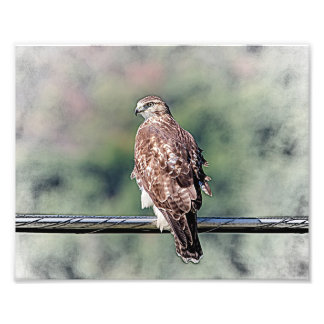 10x8 Immature Red Tailed Hawk Photo Print