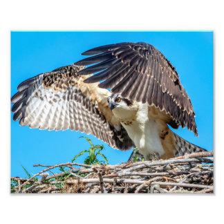 10x8 Juvenile Osprey in the nest Photo Print
