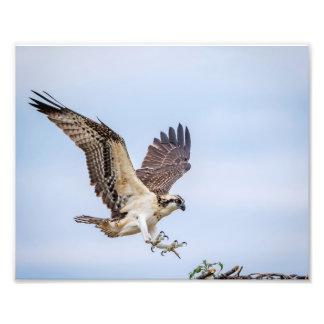 10x8 Osprey landing in the nest Photo Print