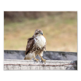 10x8 Portrait of an Immature Red Tailed Hawk Photo Art