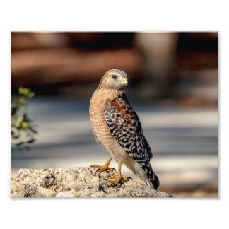 10x8 Red Shouldered Hawk on a rock Photo Print