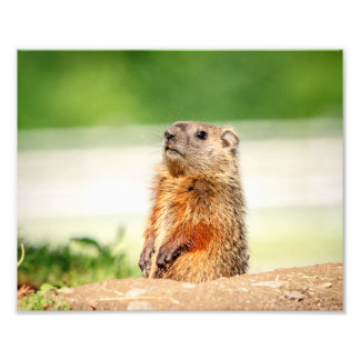 10x8 Young Groundhog Photo Print