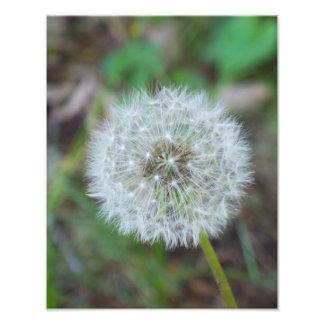 "11"" x 14"" beautiful dandelion photo print"