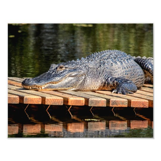 14x11 Alligator at Homosassa Springs Wildlife Park Photo Print