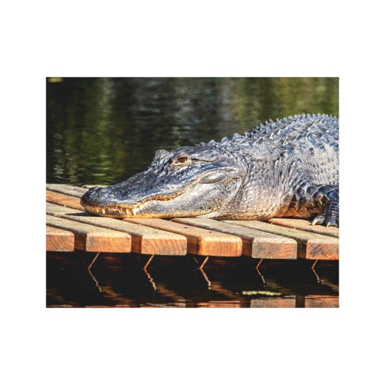 14x11 Alligator at Homosassa Springs Wildlife Stat Canvas Print