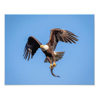 14x11 Bald Eagle with a fish Photo Print
