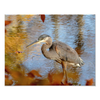 14x11 Great Blue Heron framed with fall foliage Photo Print