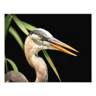14x11 Great Blue Heron Photo Print