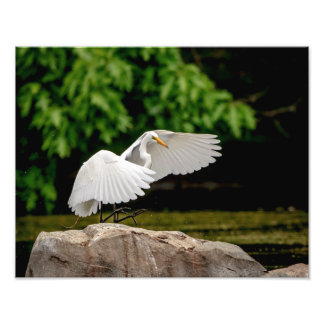 14x11 Great Egret Photo Print