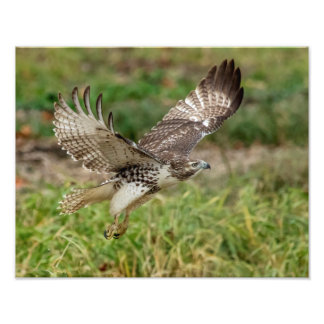 14x11 Immature Red Tailed Hawk Photographic Print