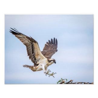 14x11 Osprey landing in the nest Photo Print