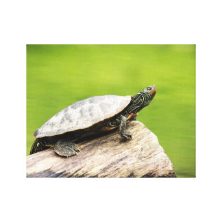 14x11 Painted Turtle on a log Canvas Print