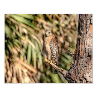 14x11 Red Shouldered Hawk in a tree Photo Print