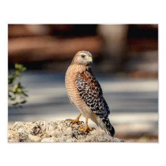 14x11 Red Shouldered Hawk on a rock Photo Print