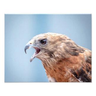 14x11 Red Shouldered Hawk Photo Print
