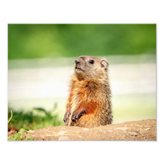 14x11 Young Groundhog Photo Print