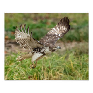 16x20 Immature Red Tailed Hawk Photographic Print