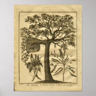 1817 Mandrake Culpeper Herbal Print