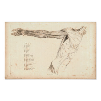 1833 Muscles of Arm Vintage Anatomy Print