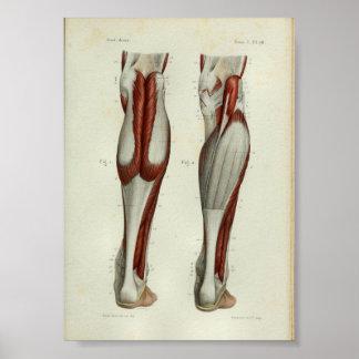 1844 Vintage Anatomy Print Muscles Calf