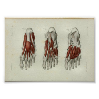 1844 Vintage Anatomy Print Muscles Foot