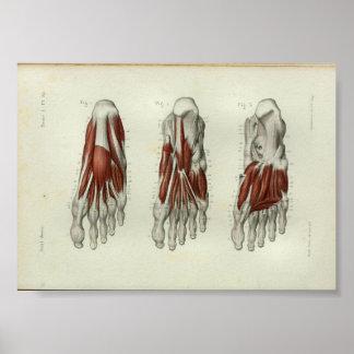 1844 Vintage Anatomy Print Muscles Foot