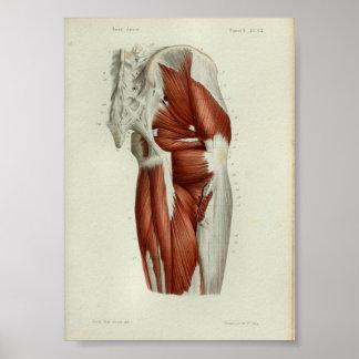 1844 Vintage Anatomy Print Muscles Hip