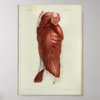 1844 Vintage Anatomy Print Muscles Torso