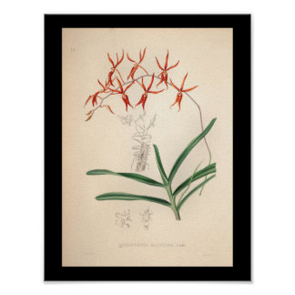 1860 Vintage Orchid Flower Print Red