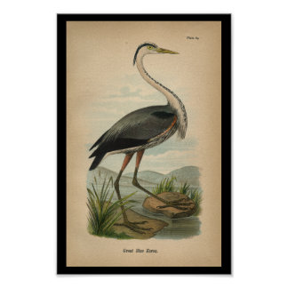1890 Bird Print Great Blue Heron