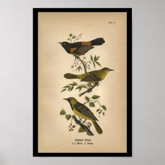 1890 Bird Print Orchard Oriole
