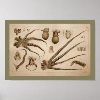 1896 Vintage Octopus Anatomy Art Print