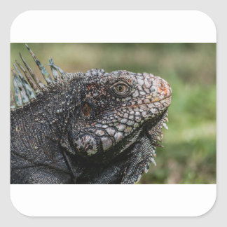 1920px-Iguanidae_head_from_Venezuela Square Sticker
